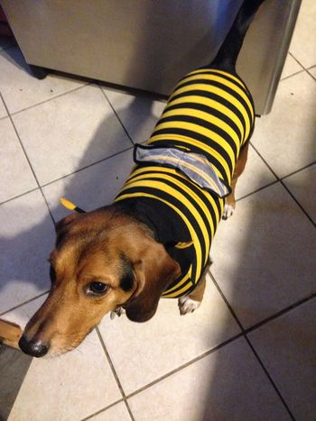 Little bumble bee Dogs