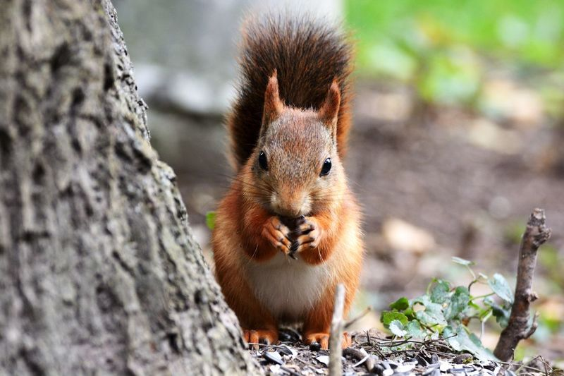 Squirrel eating outdoors