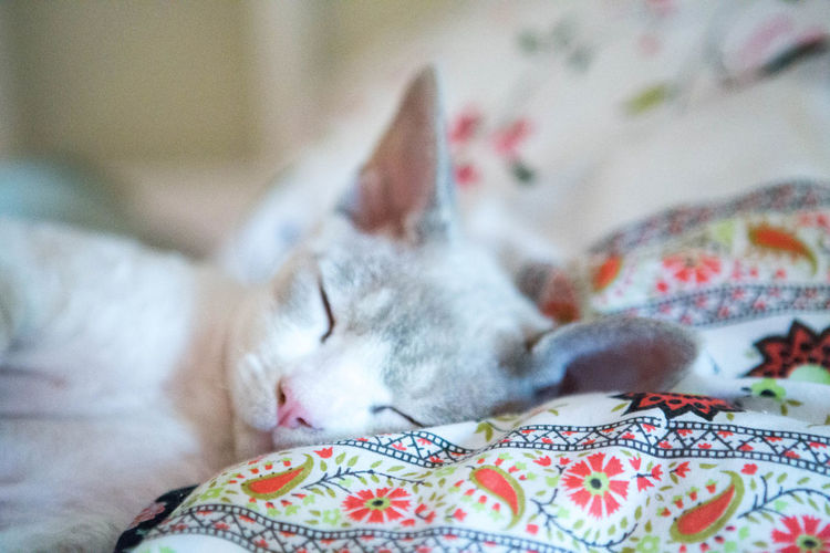 too cold outside Bed Comfy  Cuteness Devonrex Kitten No People Pink Nose Sleeping