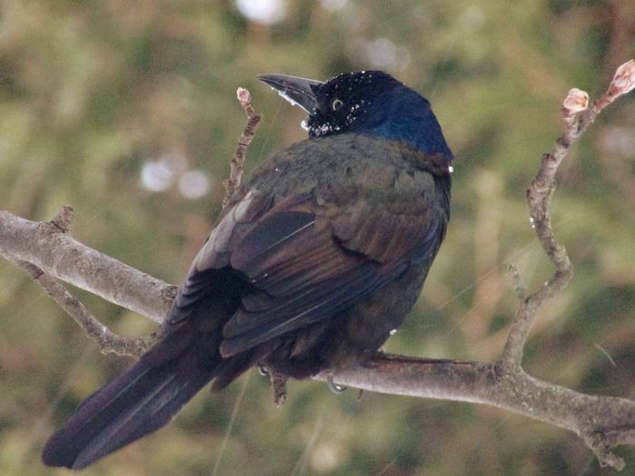 Bird Animals In The Wild Animal Themes Perching Animal Wildlife Focus On Foreground One Animal Close-up Nature No People Songbird  Outdoors Day Beauty In Nature Branch Grackle Blackbird Winter Snow