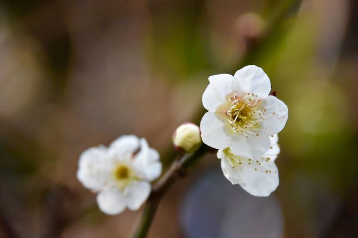 梅の花(*^^*) Plumblossom Plum Blossom Plum Flower Plum Tree White White Flower Nature_collection Nature Nature Photography Flower Collection Naturelovers Spring Springtime Spring Flowers