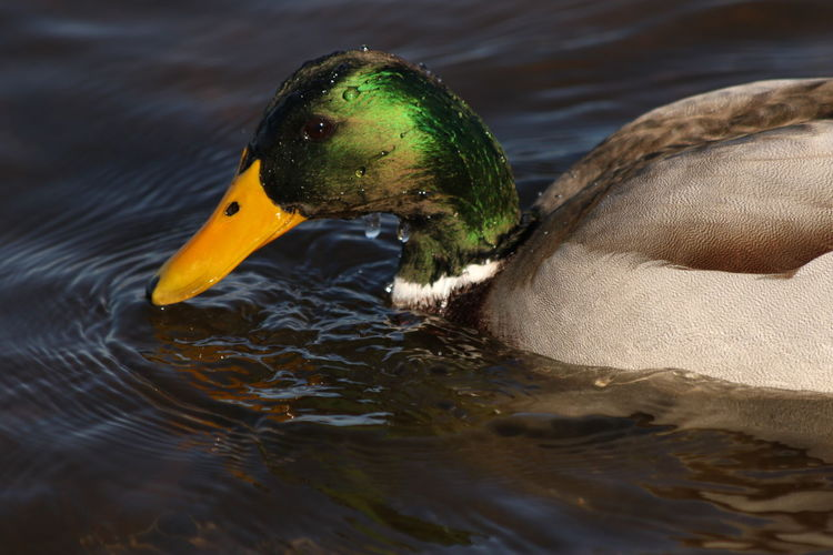 Bird Water Duck One Animal Mallard Duck Close-up Animal Themes Yellow Outdoors Animals In The Wild Lake No People Swimming Water Bird Nature Beauty In Nature Animal Wildlife Animals In The Wild