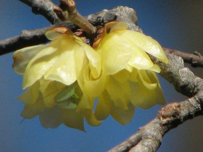 蝋梅 Flower EyeEm Nature Lover Trees