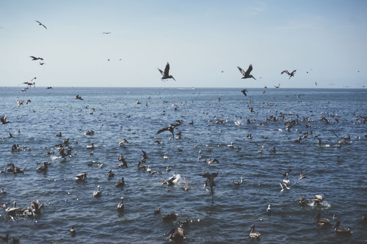 pelicans Animal Wildlife Animals In The Wild Water Group Of Animals Bird Animal Themes Large Group Of Animals Animal Flying Sea Vertebrate Sky Flock Of Birds Beauty In Nature Horizon Over Water Scenics - Nature Waterfront Nature Horizon No People Seagull