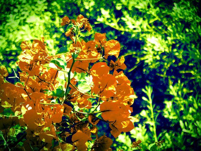 Bougainvillea Change Color Plant Flower Flower Collection Urban Gardening Garden Flowers,Plants & Garden Greenery Nature Nature_collection Nature Photography Plants And Flowers Plants Blooming Blossom Urban Spring Fever Spring Yeah Springtime! Springtime Beauty In Nature Beautiful Nature Nature On Your Doorstep Flowers Fine Art