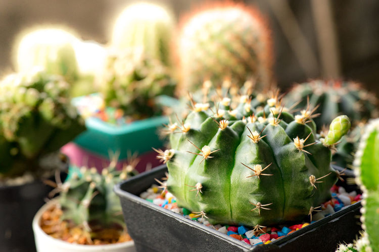 Many cactus pots are set on wooden boards. Cactus Succulent Plant Potted Plant Thorn Growth Plant Green Color Sign Spiked Focus On Foreground No People Nature Sharp Close-up Day Beauty In Nature Outdoors Selective Focus Flower Pot Communication