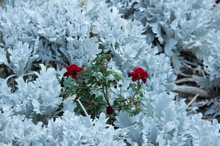 Beauty In Nature Close-up Day Flower Flower Head Flowering Plant Fragility Freshness Full Frame Growth Inflorescence Leaf Nature No People Outdoors Petal Plant Red Vulnerability  White Color
