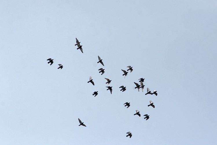 Low Angle View Of Pigeons Flying In Clear Sky