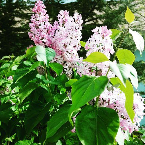 Sumbul Cicekler Cicekliev Flowers Relaxing Hello World Burasieskisehir First Eyeem Photo Erguvan / Judas Tree Mor