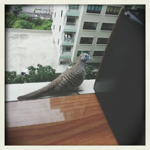 Dove near my window