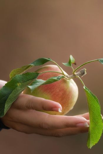 Human Hand Fruit Apple Picked From The Tree Fresh Pink Lady Holding Apple