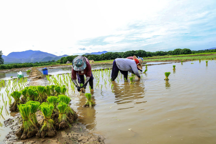 Rear view of people working on agricultural field