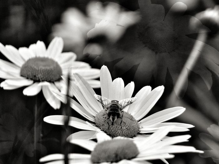Dog Daisy Bee refuelling pad...!! Bee Insect One Animal Wings Illuminated By Sun Animal Wildlife Fragility Nature Freshness Beauty In Nature Outdoors Petal Dog Daisy Plant Day Growth Flower No People Pollen Pollination Flower Head EyeEm Nature Lover Love Life Love Photography Blurred Background Simple Quiet Love Close-up Black And White Friday