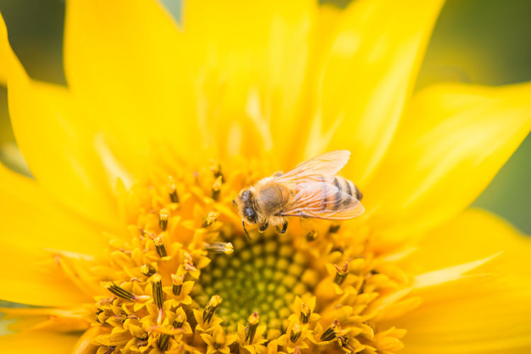 Animal Animal Themes Animal Wildlife Animals In The Wild Beauty In Nature Bee Close-up Flower Flower Head Flowering Plant Fragility Freshness Growth Insect Invertebrate No People One Animal Petal Plant Pollen Pollination Vulnerability  Yellow 向日葵 微距 花 蜜蜂
