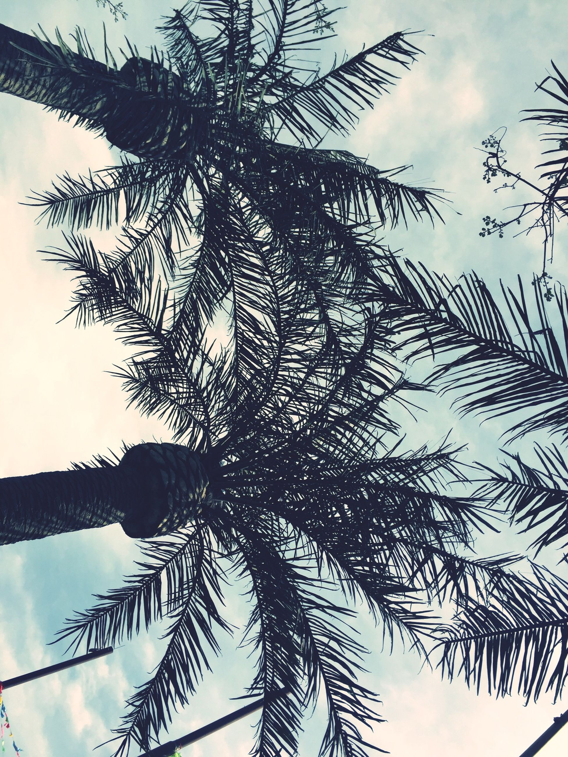 low angle view, tree, sky, palm tree, branch, growth, silhouette, tree trunk, nature, tranquility, beauty in nature, cloud - sky, leaf, outdoors, tall - high, no people, scenics, day, cloud, palm leaf