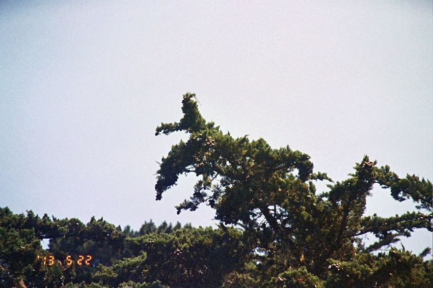 2013 Koduckgirl Olympus Tree Nature Beauty In Nature No People Clear Sky Film Date Stamp Carmel Highlands