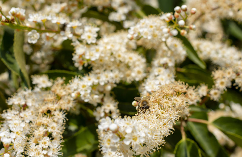 Outdoors Pollination No People Flower Head Day Vulnerability  Freshness Nature One Animal Fragility Growth Close-up Beauty In Nature Animals In The Wild Animal Wildlife Flowering Plant Plant Animal Themes Insect Animal Flower Invertebrate Bee Lauroceraso Laurocerasus Prunus Laurocerasus