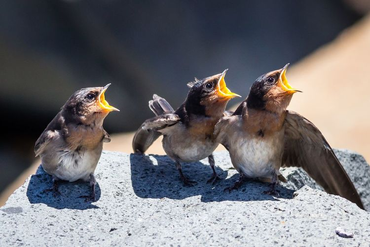 Hungry young swallows perching on rock