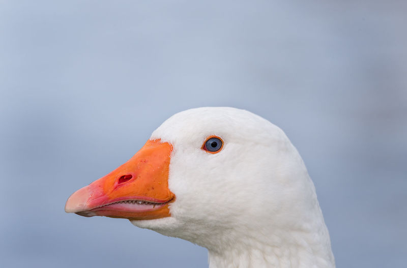 Close up of the head of a white feathered domestic geese with bright orange beak. Beak Bright Geese Orange Animal Head  Animal Themes Animal Wildlife Animals In The Wild Beak Beauty In Nature Bird Close Up Close-up Day Domestic Geese Domestic Goose Goose Headshot Nature One Animal Outdoors Swan