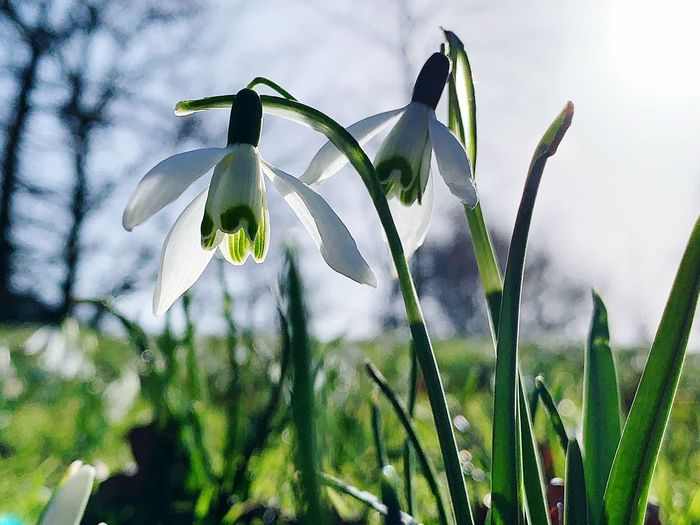 Spring Springtime Plant Growth Flowering Plant Beauty In Nature Flower Petal Fragility Freshness Vulnerability  Nature Focus On Foreground Snowdrop Close-up Day Green Color Inflorescence Flower Head No People Field Land Outdoors