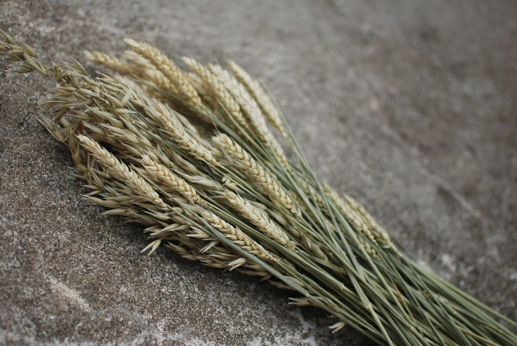 High angle view of wheat growing on table
