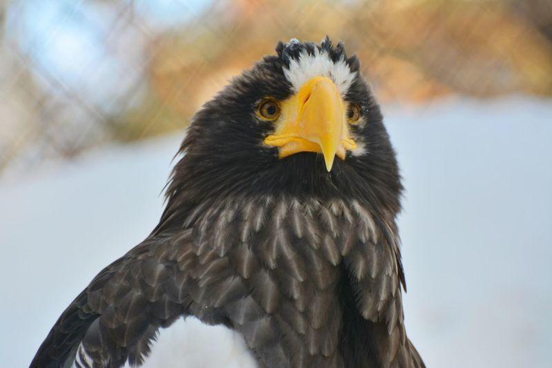 Белоплечий орлан птица Природа зоопарк красота