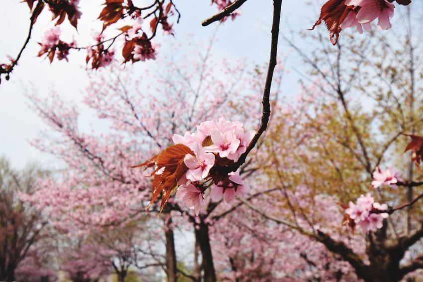 CAMERA : NIKON D5300 LENS : 10-24mm F/3.5-4.5 Di II VC HLD #tamron #tamuronlens #タムロン #タムロンレンズ #広角レンズ #tamron1024 #1024mm #nikond5300 #nikon倶楽部 #instagramers #iphoneocreation Tamron10_24 EyeEmNewHere NIKON D5300 Sakura Tamron Sapporo Nikon Plant Flowering Plant Tree Flower Fragility Beauty In Nature Branch