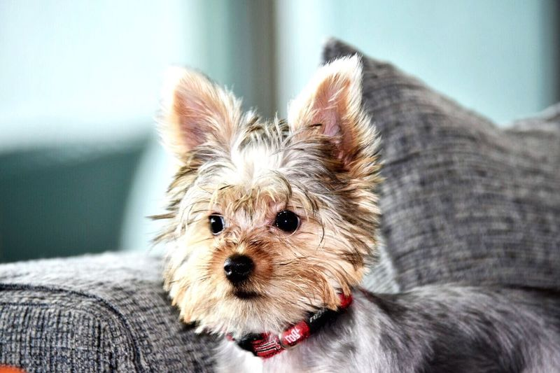 Yorkie Dog Pets Animal Themes YorkieBestShots Yorkshire Terrier Domestic Animals