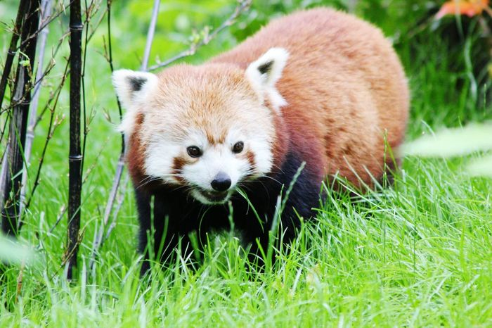 Little Panda Red Panda Hanging Out Taking Photos Check This Out Cheese! Relaxing Enjoying Life Loving Nature And Enjoying Photography Zuid Holland Blijdorp Rotterdam Diergaardeblijdorp Wild Animals Up Close Dierentuin Natuur Dordrecht 2016 Nature Photography The Netherlands Rotterdam Zoo Photography Summer Taking Photos