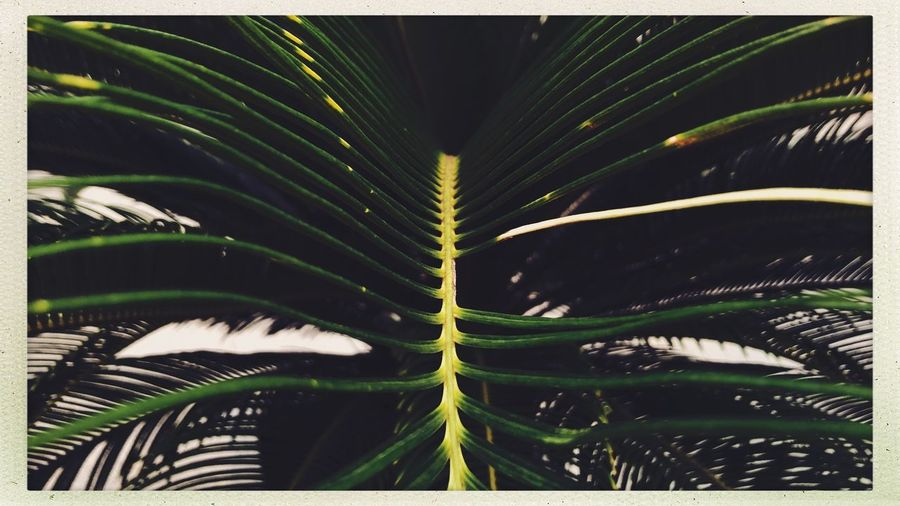 Streetphotography Street Leaf Growth Plant Plant Part Green Color Transfer Print Auto Post Production Filter Beauty In Nature Nature No People Close-up Day Frond Palm Tree Palm Leaf Outdoors Natural Pattern Full Frame Tree Backgrounds