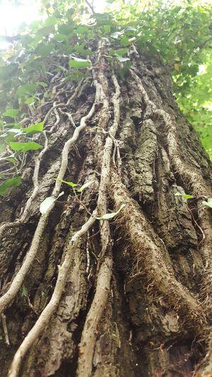 Baum Efeu