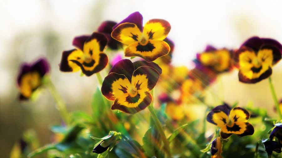 Rainbow Lens Flare and Pansies Beauty In Nature Close-up Day Flower Flower Head Flowering Plant Focus On Foreground Fragility Freshness Growth Inflorescence Nature No People Outdoors Pansy Petal Plant Pollen Purple Selective Focus Vulnerability  Yellow