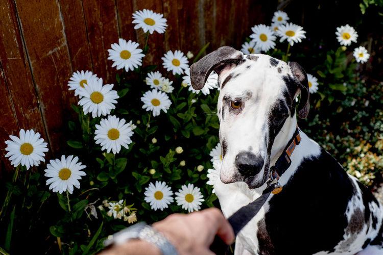 Great dane sitting against daisy flowers growing in yard