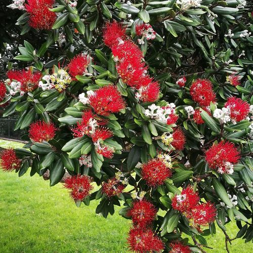 HuaweiP9 Huaweiphotography Phonephoto Tamaki Makaurau Auckland New Zealand Spring Printemps Frühjahr Neuseeland Nouvelle Zélande Baum Arbre Pohutukawa Nz Christmas Tree Red Flower Flowering Tree Red Nature Growth Flower Beauty In Nature Outdoors Day No People