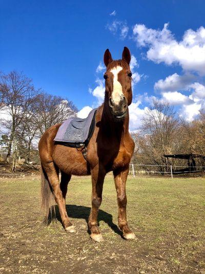 Full length of a horse on field against sky