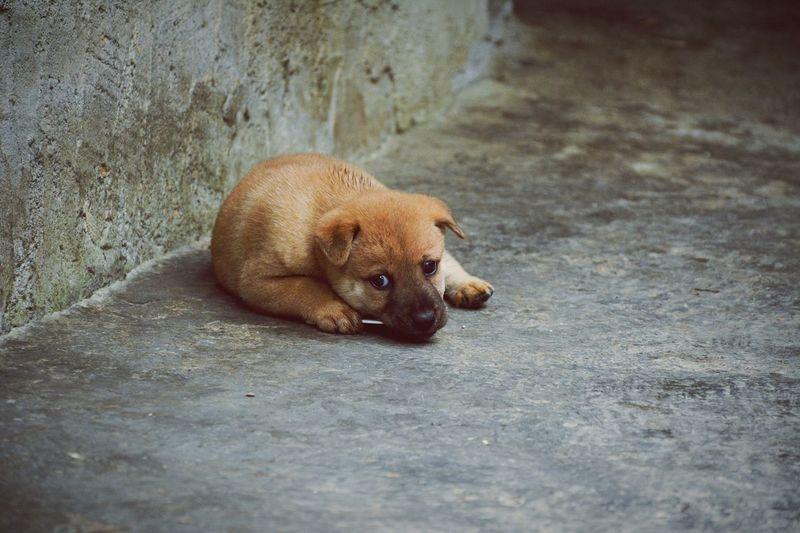 Dog Yellow Dog  Little Dog Lovely Dog Lovely Pet Pet Little Pet Animal Black Eyes