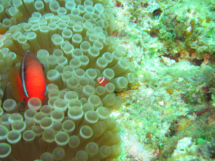 Two Clown Fish In Green Anemone