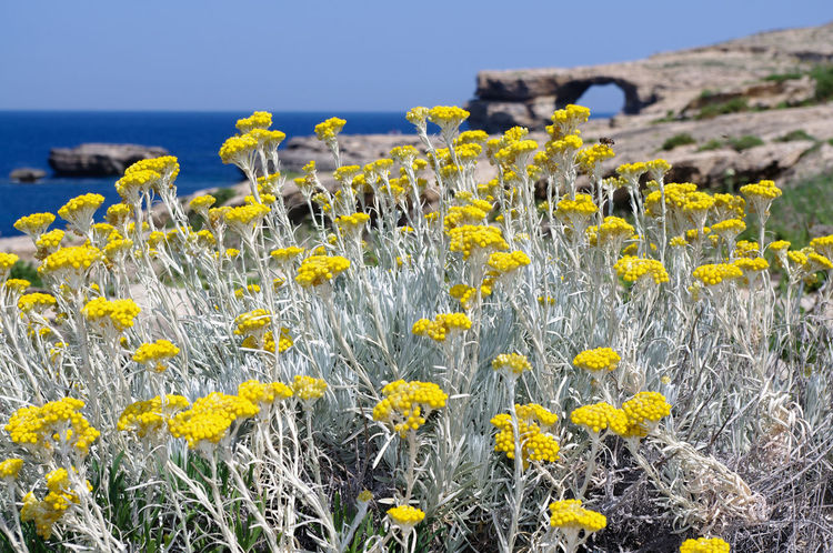 Azure window on the isle of Gozo Beauty In Nature Clear Sky Close-up Day Field Flower Flower Head Flowering Plant Focus On Foreground Fragility Freshness Growth Inflorescence Land Nature No People Outdoors Plant Sky Springtime Vulnerability  Yellow