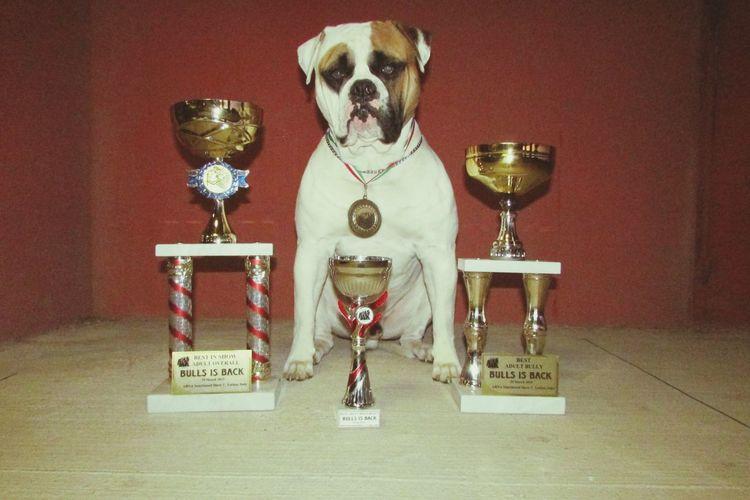Instagram We Love Bulls American Bulldog Bulldog Americano Wow Dog Congo Wow *-* Bull Bulldog Ram Show amore