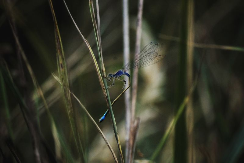 Dragonfly on blades of grass.