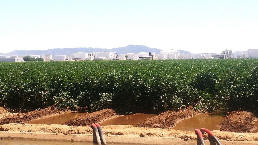 Cotton field in