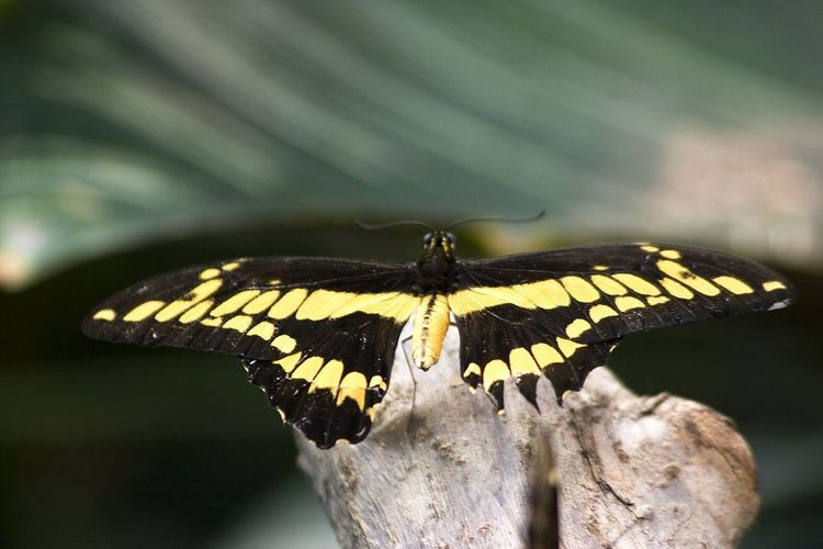 Animal Markings Animal Themes Animal Wildlife Animal Wing Animals In The Wild Beauty In Nature Black Butterfly Butterfly - Insect Close-up Day Focus On Foreground Insect Nature No People One Animal Outdoors Perching Spread Wings Yellow