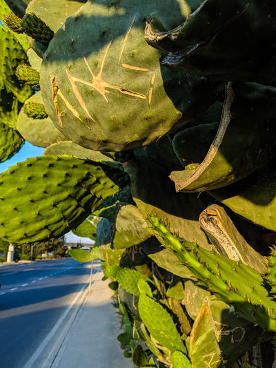 Close-up of succulent plant by road