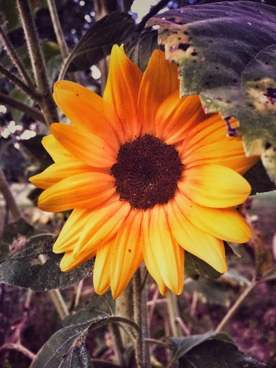The last of my sunflowers 🌻 Flower Petal Fragility Flower Head Growth Beauty In Nature Freshness Nature Plant Blooming Close-up Pollen Day Outdoors Yellow No People Sunflower Sunflowers Sunflowers🌻 Yellow Flower Sunflower🌻 Summer Botany Flowers Flower Collection