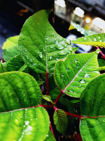 Freshness Fresh And Clean Water Leaf Drop Wet RainDrop Close-up Plant Green Color Water Drop Droplet Detail Green Greenery Young Plant Rainy Season Plant Life