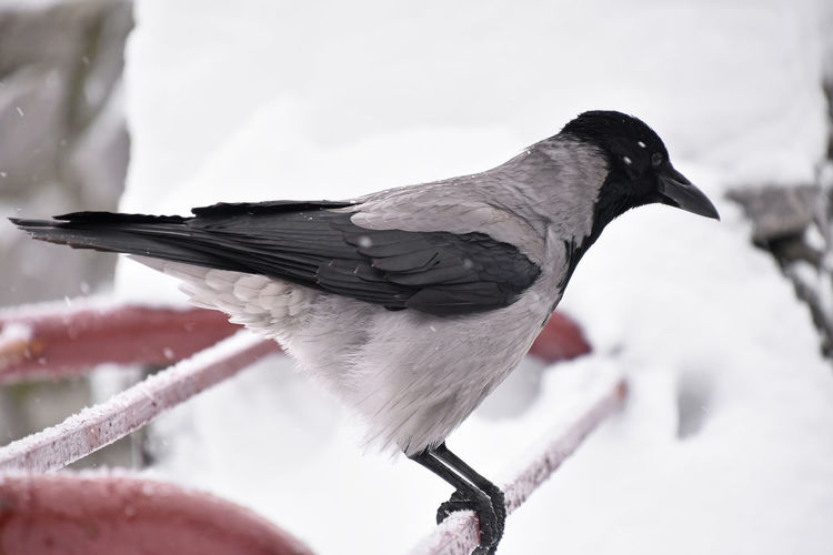 Close up crow perching in winter Outdoors Snowing Frozen White Color Beauty In Nature Bird Animal Themes Cold Temperature Animals In The Wild Snow Winter Animal Animal Wildlife One Animal No People Nature Perching Day Close-up Focus On Foreground Crow Raven - Bird Copy Space Looking Away