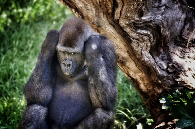 Gorilla relaxing in forest