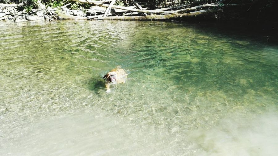 Swimming Playing Amstaff Nature River