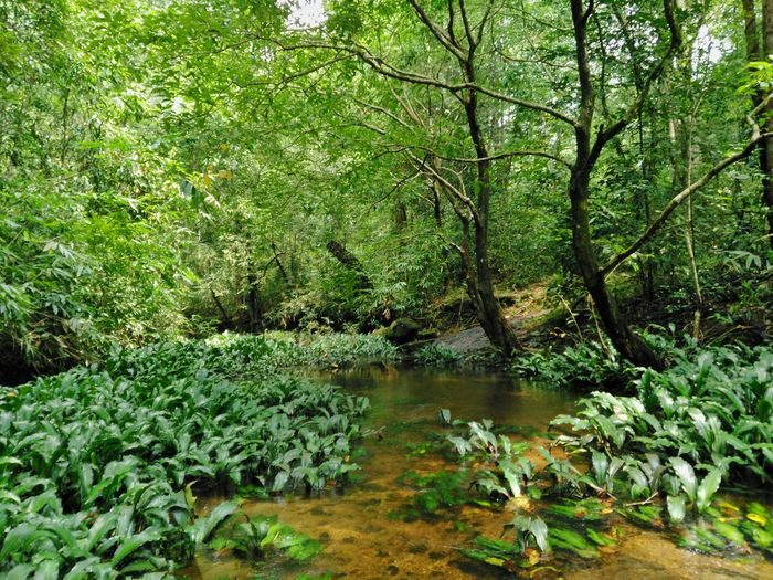 Stream in the Rain forest. Tree Forest Water Tranquil Scene Tranquility Green Color Scenics Growth Nature Non-urban Scene WoodLand Beauty In Nature Travel Destinations Plant Stream Environment Vacations Wilderness Tourism River Travel Beauty In Nature India Kerala Rain Forrest