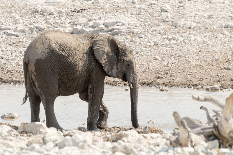 View of elephant at watering hole